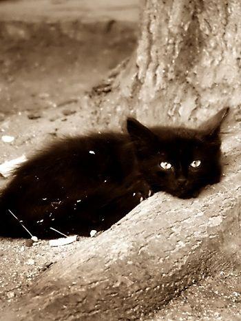 Black Cats Toro Miboosamo Miram