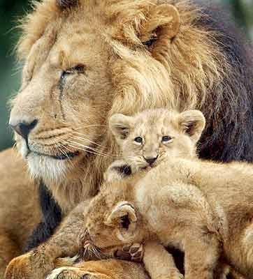 Image Result For Lions And Tigers